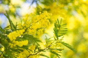 黄色、ミモザ